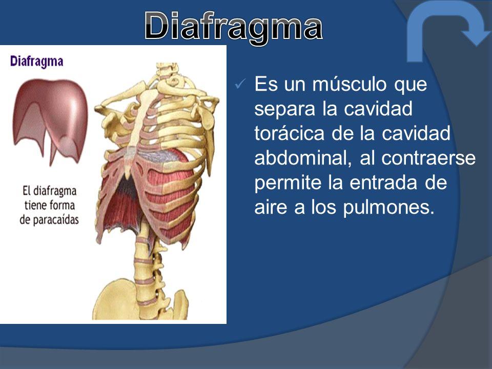 Diafragma Es un músculo que separa la cavidad torácica de la cavidad abdominal, al contraerse permite la entrada de aire a los pulmones.