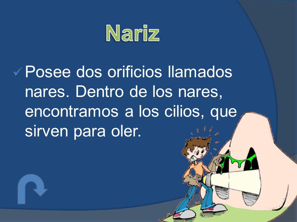Nariz Posee dos orificios llamados nares.