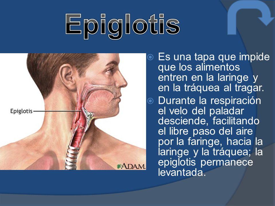 Epiglotis Es una tapa que impide que los alimentos entren en la laringe y en la tráquea al tragar.