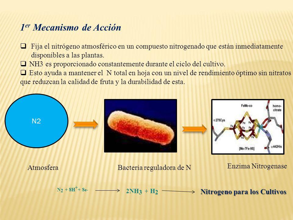 1er Mecanismo de Acción 2NH3 + H2