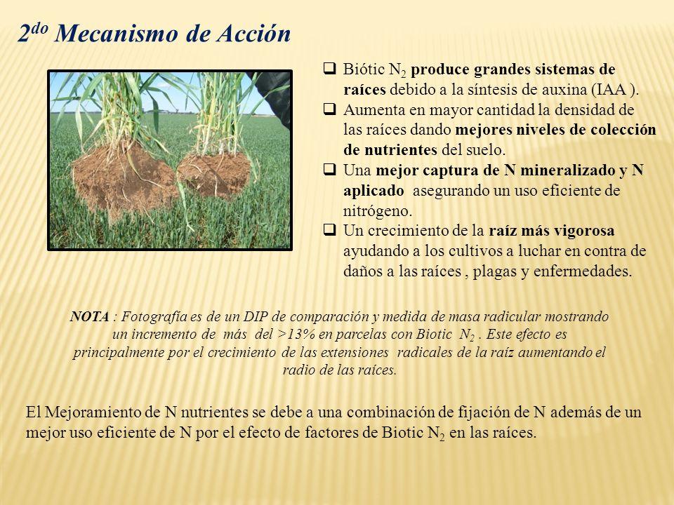 2do Mecanismo de Acción Biótic N2 produce grandes sistemas de raíces debido a la síntesis de auxina (IAA ).