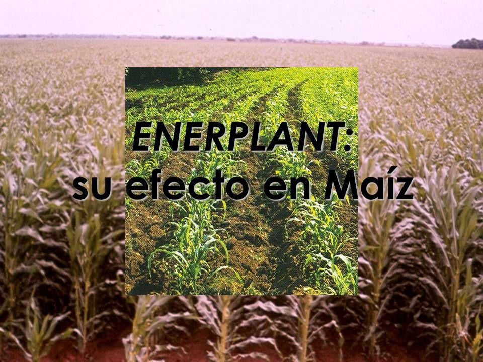 ENERPLANT: su efecto en Maíz