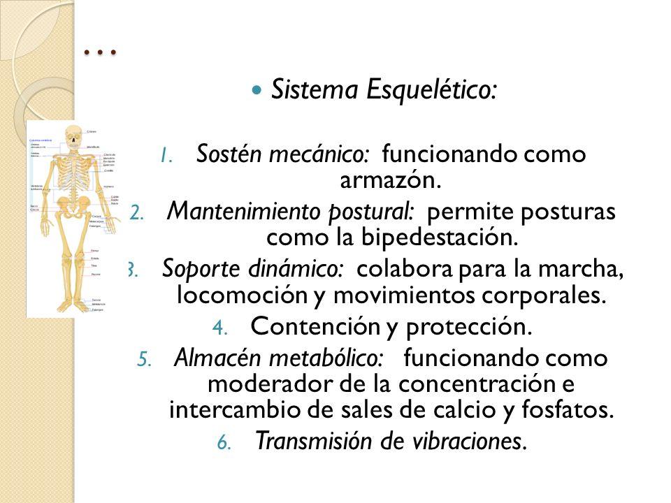 … Sistema Esquelético: Sostén mecánico: funcionando como armazón.