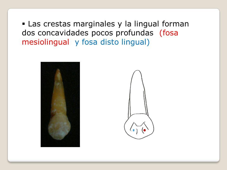 Las crestas marginales y la lingual forman dos concavidades pocos profundas (fosa mesiolingual y fosa disto lingual)