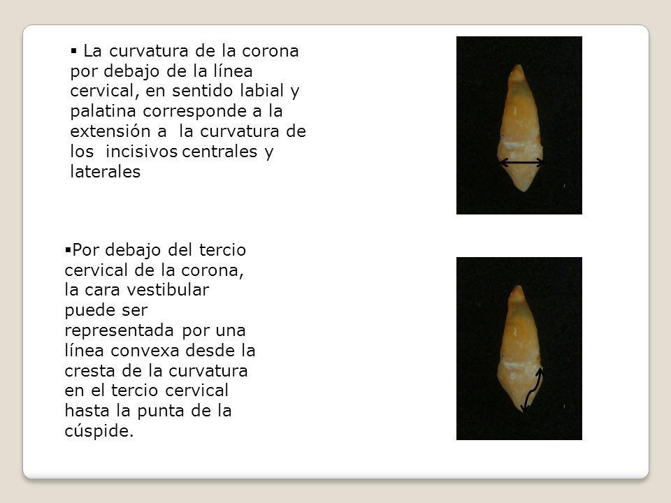La curvatura de la corona por debajo de la línea cervical, en sentido labial y palatina corresponde a la extensión a la curvatura de los incisivos centrales y laterales