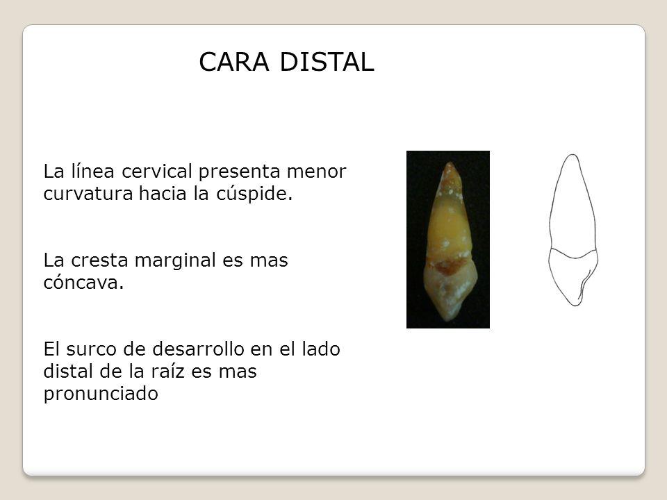 CARA DISTAL La línea cervical presenta menor curvatura hacia la cúspide. La cresta marginal es mas cóncava.