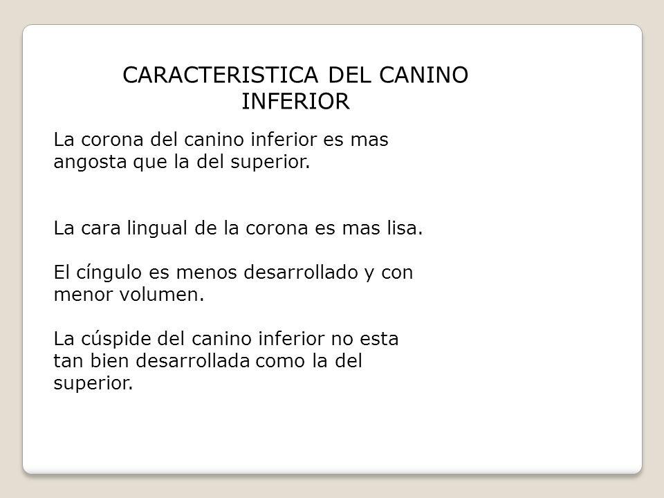 CARACTERISTICA DEL CANINO INFERIOR