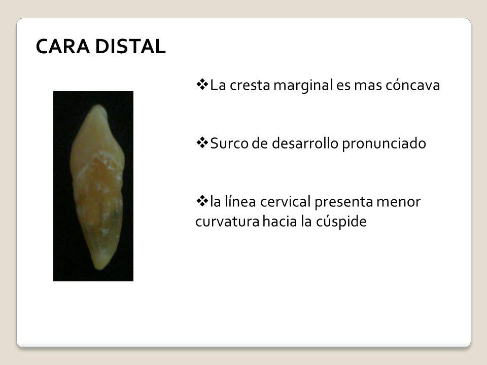 CARA DISTAL La cresta marginal es mas cóncava