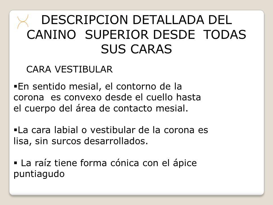 DESCRIPCION DETALLADA DEL CANINO SUPERIOR DESDE TODAS SUS CARAS