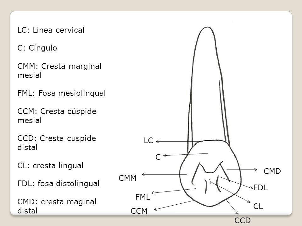 LC: Línea cervical C: Cíngulo. CMM: Cresta marginal mesial. FML: Fosa mesiolingual. CCM: Cresta cúspide mesial.