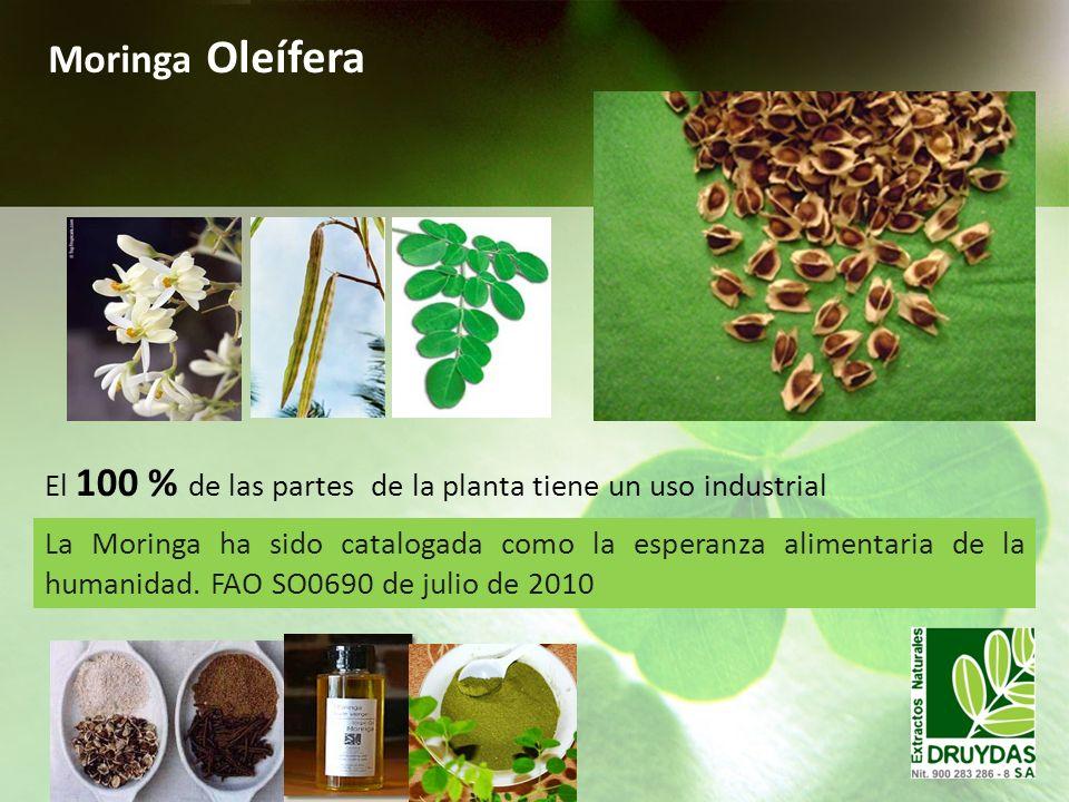 Moringa Oleífera El 100 % de las partes de la planta tiene un uso industrial.