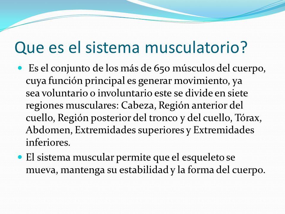 Que es el sistema musculatorio