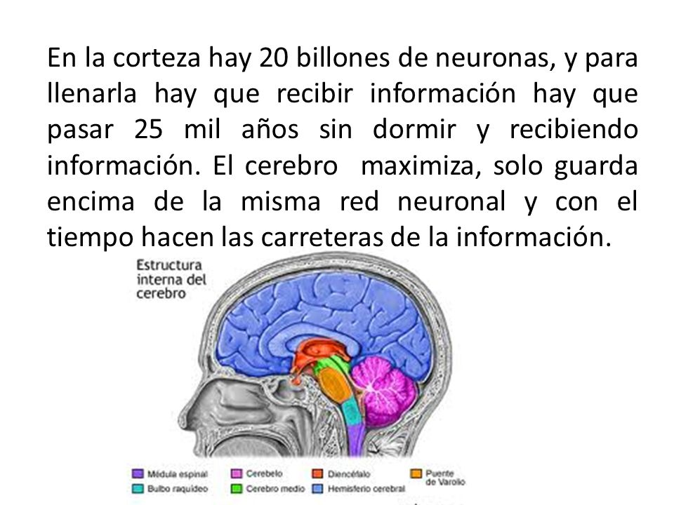 En la corteza hay 20 billones de neuronas, y para llenarla hay que recibir información hay que pasar 25 mil años sin dormir y recibiendo información.