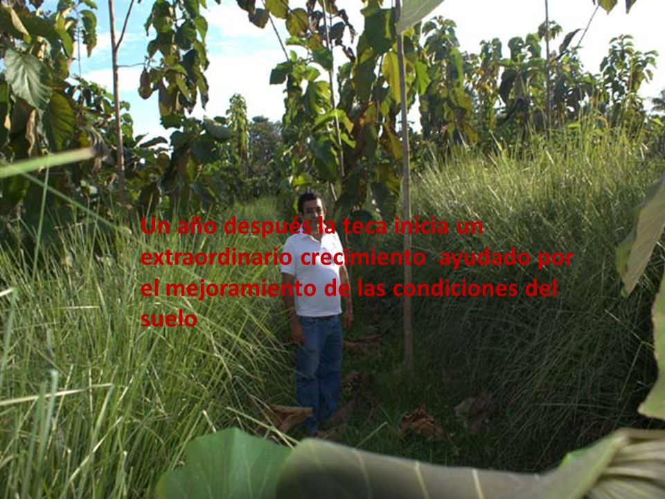 Un año después la teca inicia un extraordinario crecimiento ayudado por el mejoramiento de las condiciones del suelo