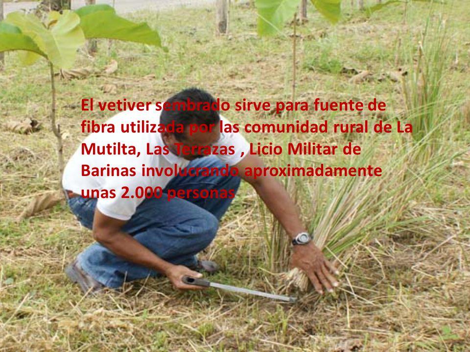 El vetiver sembrado sirve para fuente de fibra utilizada por las comunidad rural de La Mutilta, Las Terrazas , Licio Militar de Barinas involucrando aproximadamente unas 2.000 personas
