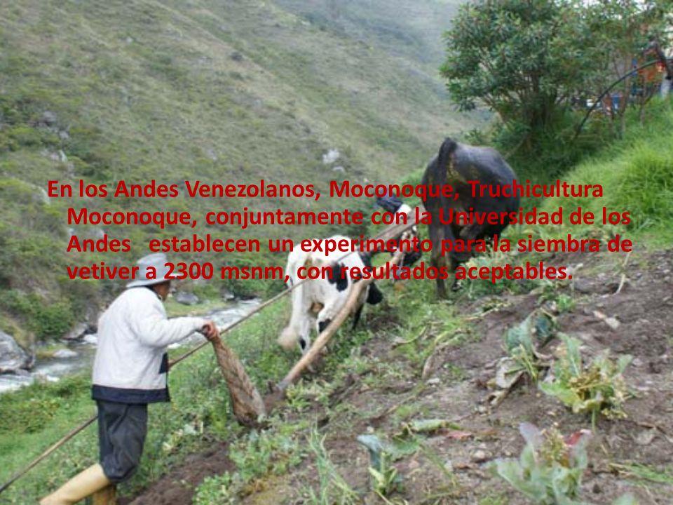 En los Andes Venezolanos, Moconoque, Truchicultura Moconoque, conjuntamente con la Universidad de los Andes establecen un experimento para la siembra de vetiver a 2300 msnm, con resultados aceptables.
