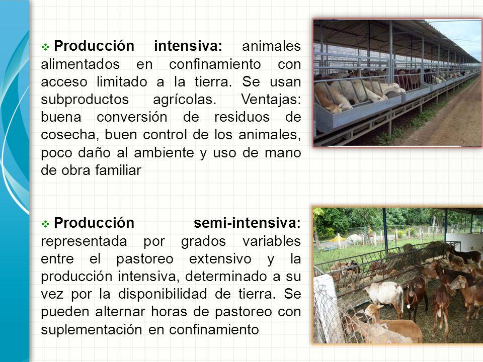 Producción intensiva: animales alimentados en confinamiento con acceso limitado a la tierra. Se usan subproductos agrícolas. Ventajas: buena conversión de residuos de cosecha, buen control de los animales, poco daño al ambiente y uso de mano de obra familiar