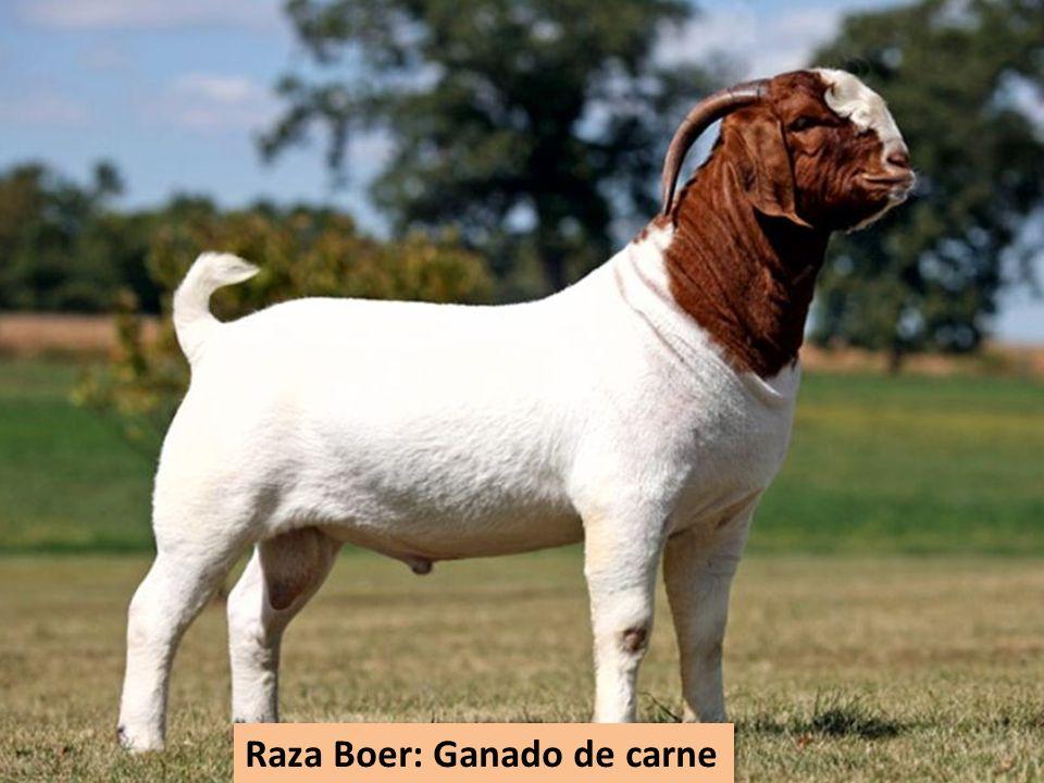 Raza Boer: Ganado de carne