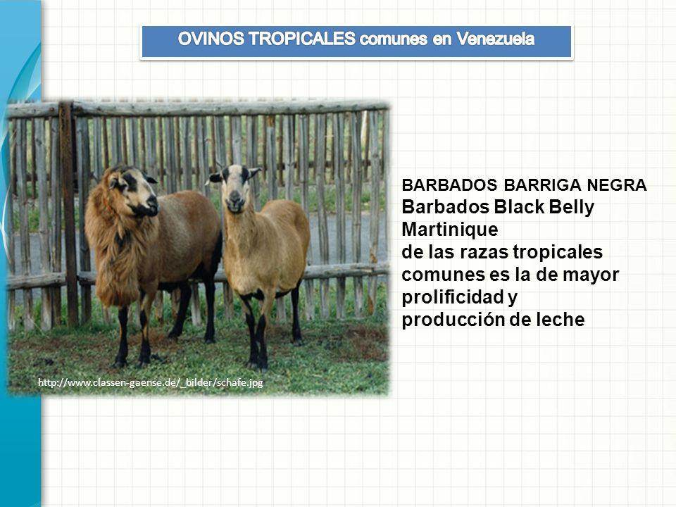OVINOS TROPICALES comunes en Venezuela