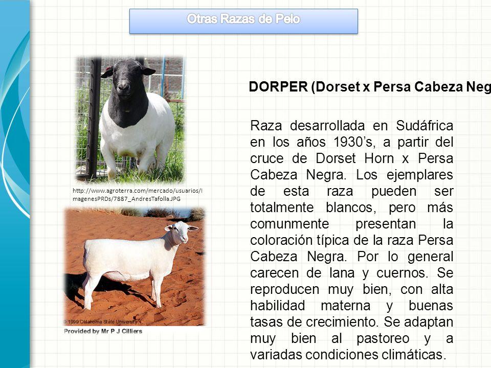 DORPER (Dorset x Persa Cabeza Negra)