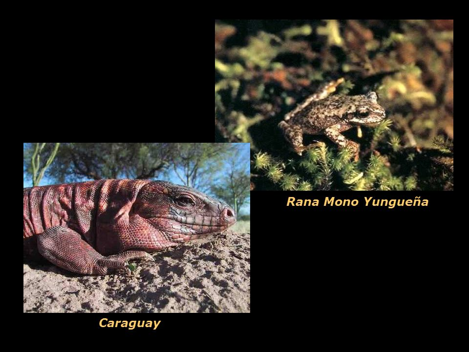 Rana Mono Yungueña Caraguay