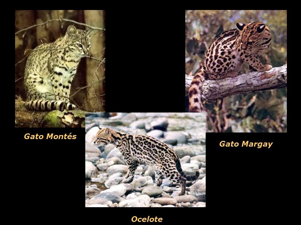 Gato Montés Gato Margay Ocelote