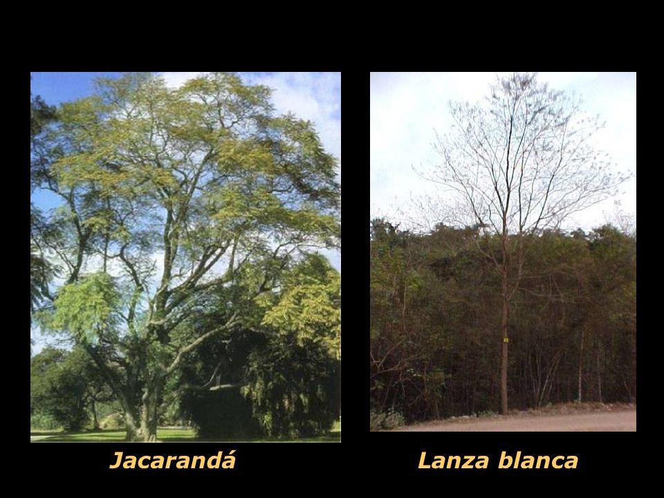 Jacarandá Lanza blanca