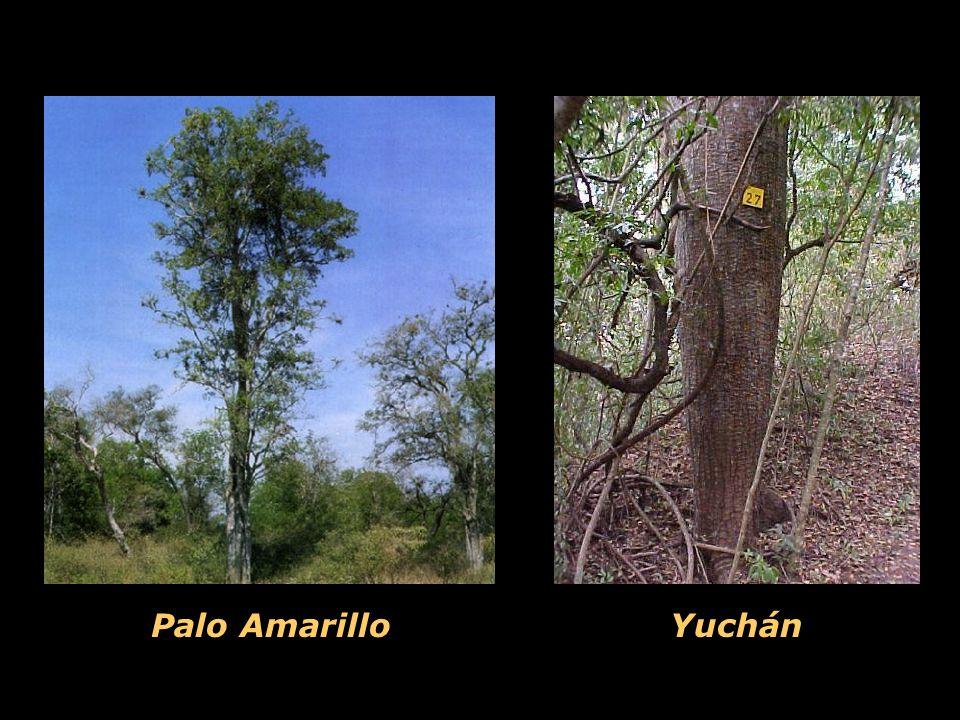 Palo Amarillo Yuchán