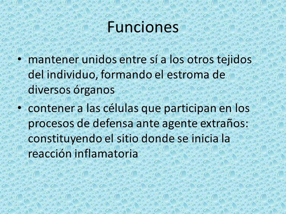 Funciones mantener unidos entre sí a los otros tejidos del individuo, formando el estroma de diversos órganos.