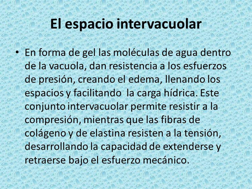 El espacio intervacuolar