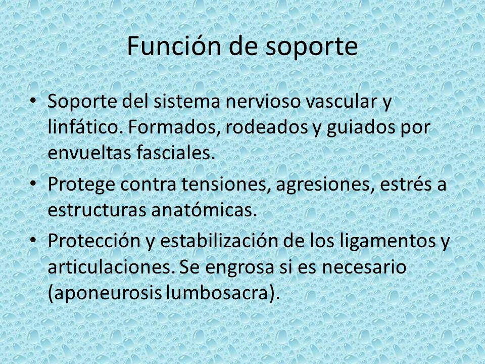 Función de soporte Soporte del sistema nervioso vascular y linfático. Formados, rodeados y guiados por envueltas fasciales.