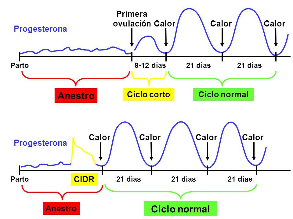 Anestro Ciclo normal Progesterona Primera ovulación Ciclo corto