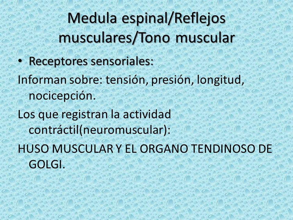 Medula espinal/Reflejos musculares/Tono muscular