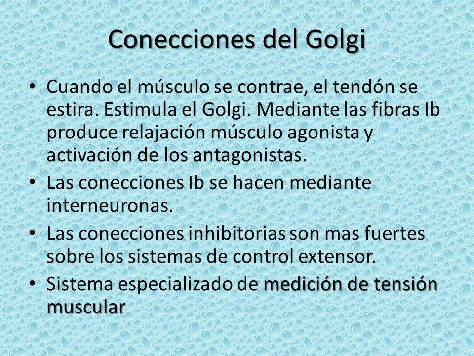 Conecciones del Golgi