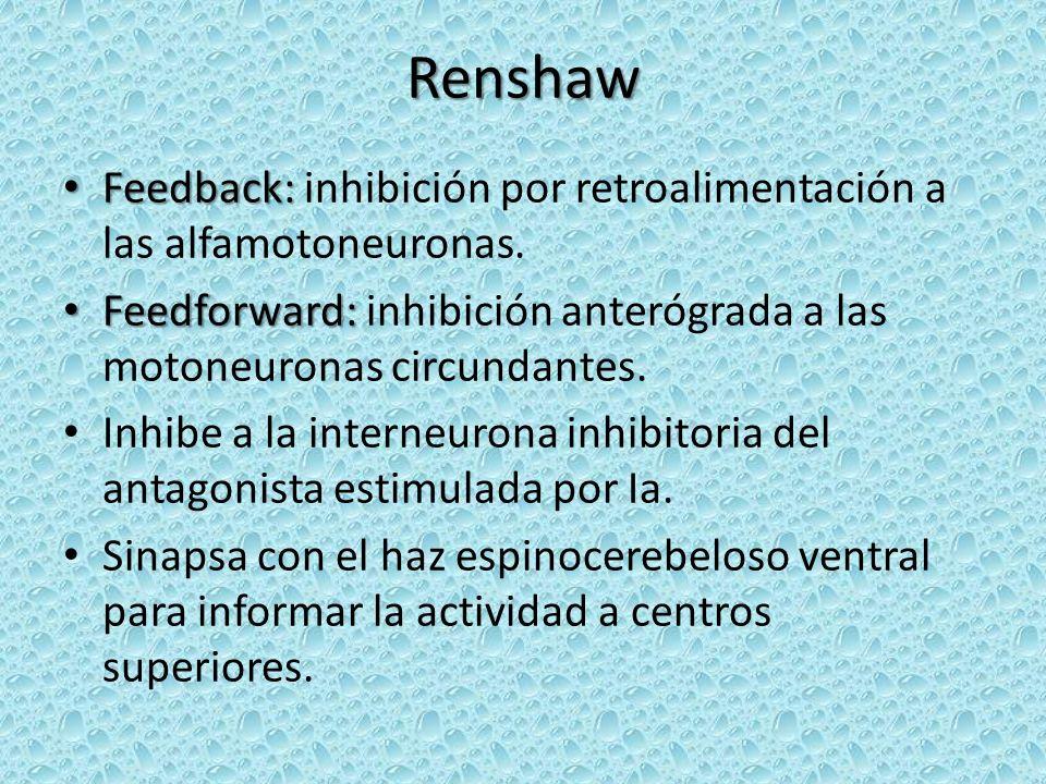Renshaw Feedback: inhibición por retroalimentación a las alfamotoneuronas. Feedforward: inhibición anterógrada a las motoneuronas circundantes.