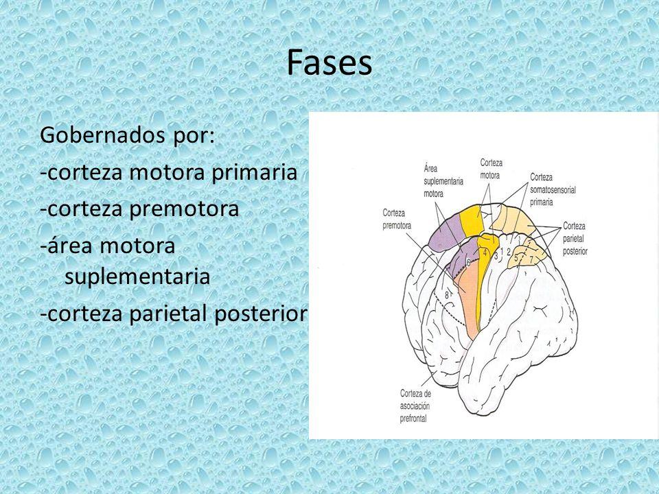 Fases Gobernados por: -corteza motora primaria -corteza premotora