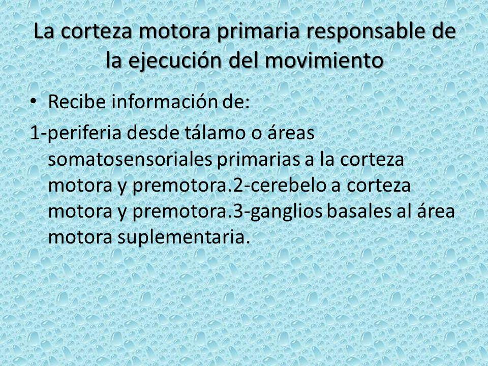 La corteza motora primaria responsable de la ejecución del movimiento