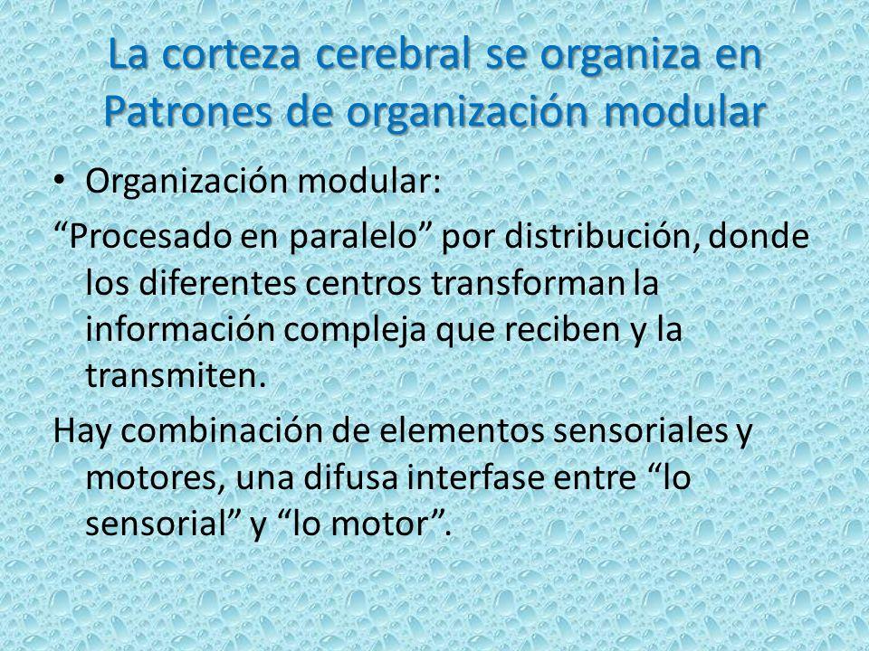 La corteza cerebral se organiza en Patrones de organización modular