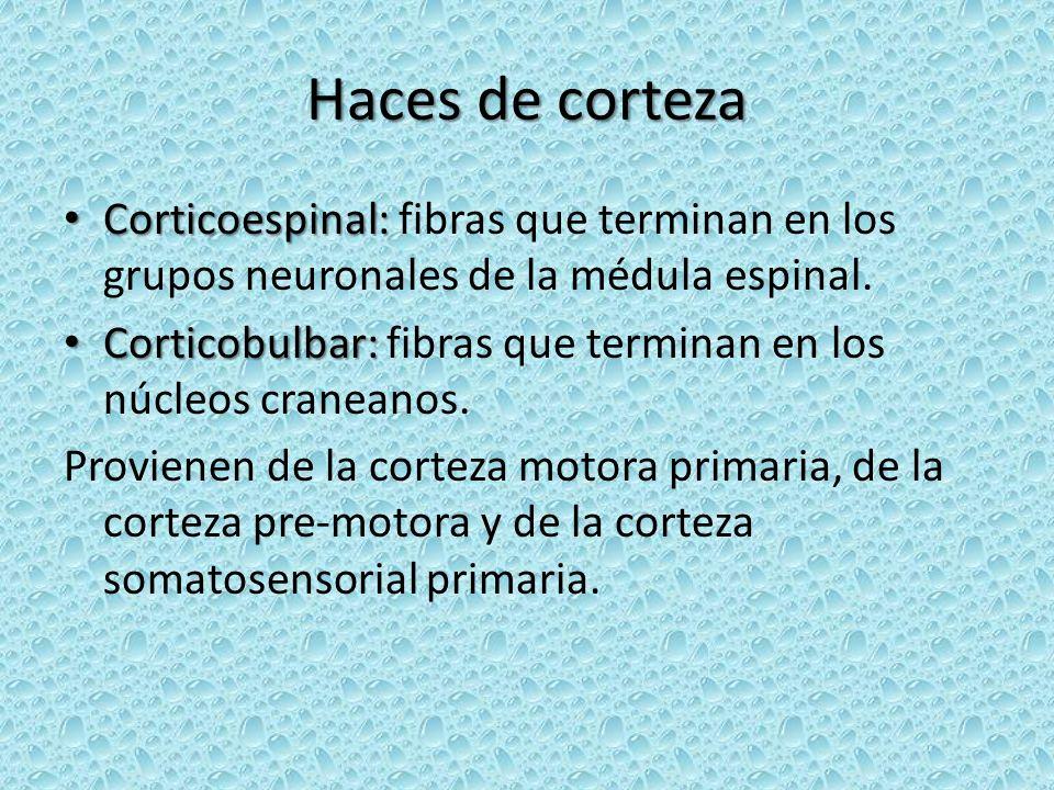 Haces de corteza Corticoespinal: fibras que terminan en los grupos neuronales de la médula espinal.