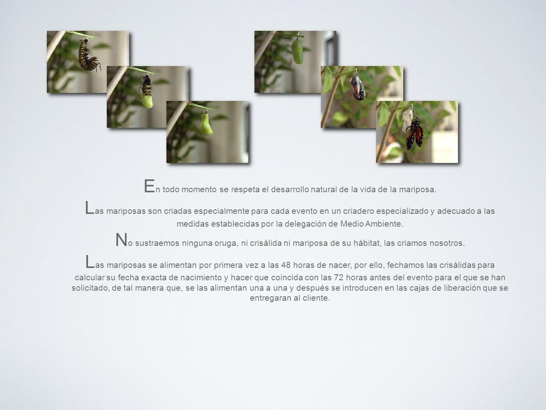 En todo momento se respeta el desarrollo natural de la vida de la mariposa.