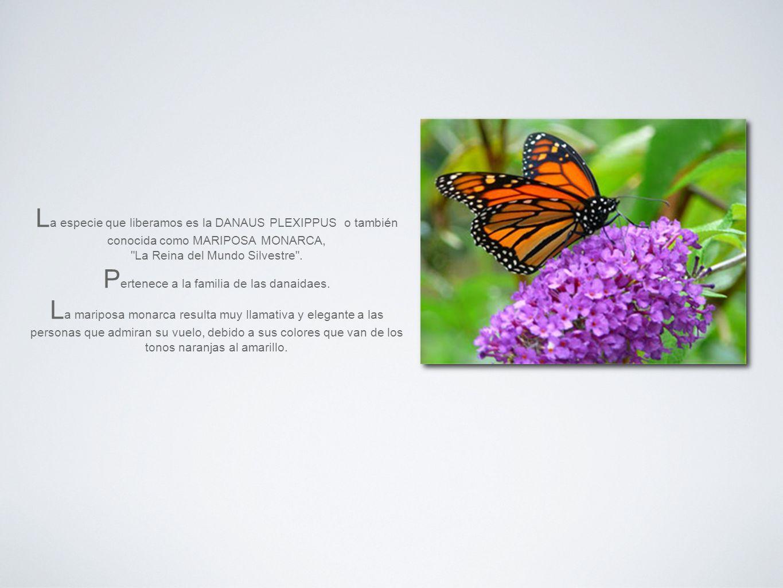 La especie que liberamos es la DANAUS PLEXIPPUS o también conocida como MARIPOSA MONARCA, La Reina del Mundo Silvestre .