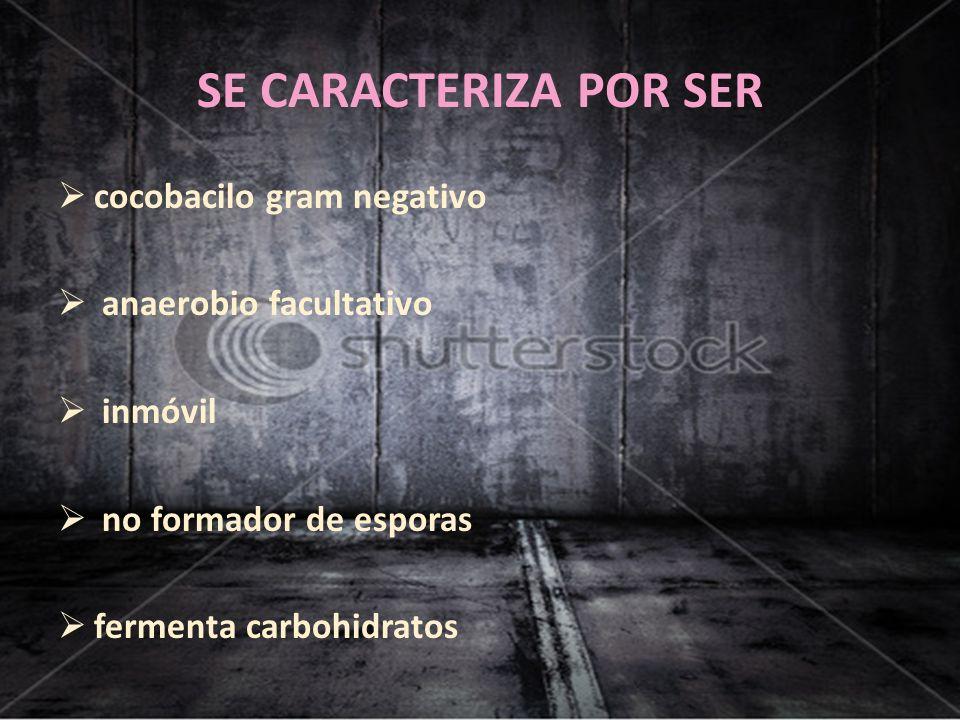SE CARACTERIZA POR SER cocobacilo gram negativo anaerobio facultativo