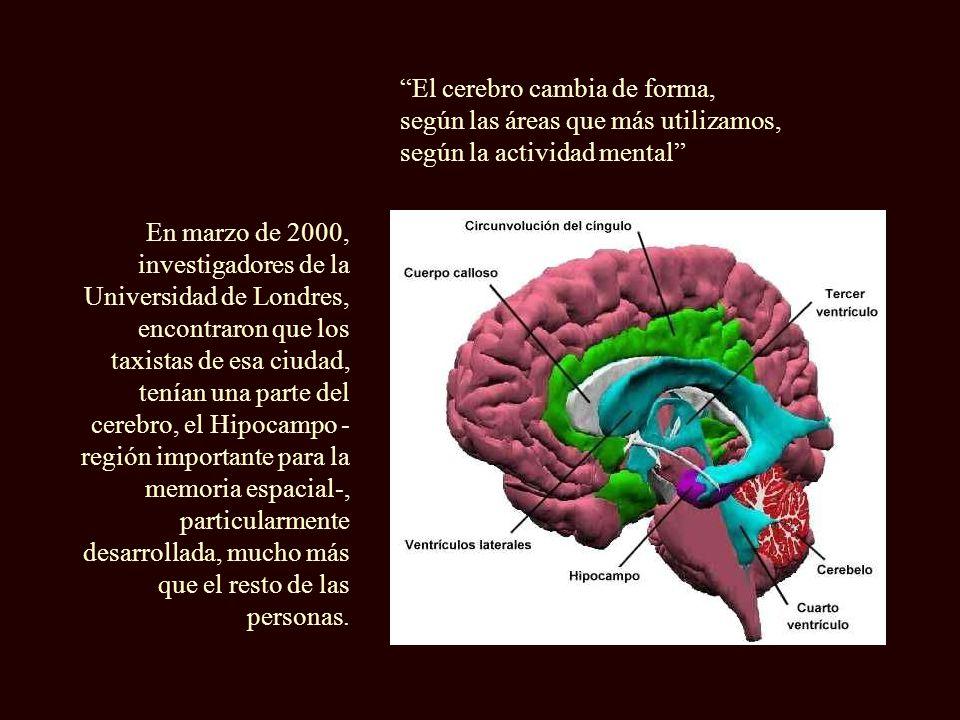 El cerebro cambia de forma,