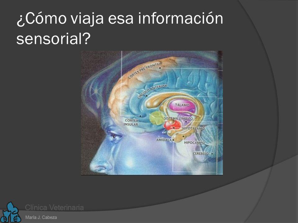 ¿Cómo viaja esa información sensorial
