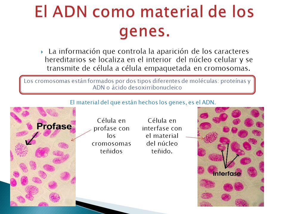 El ADN como material de los genes.