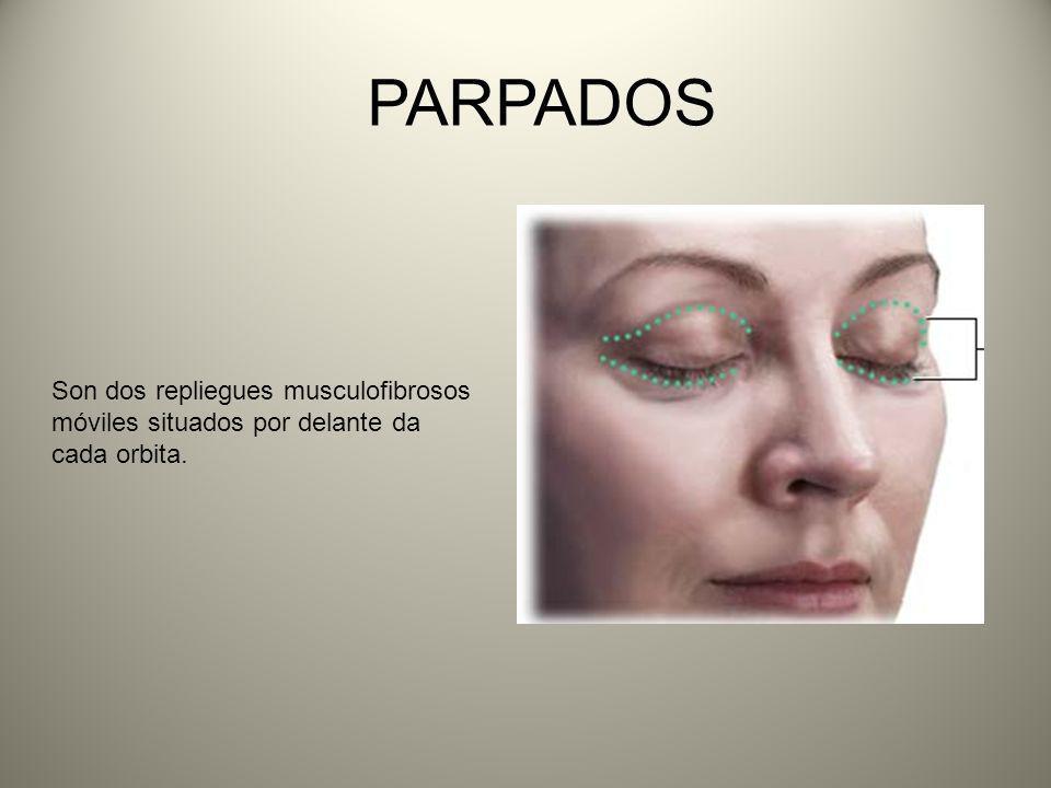 PARPADOS Son dos repliegues musculofibrosos móviles situados por delante da cada orbita.