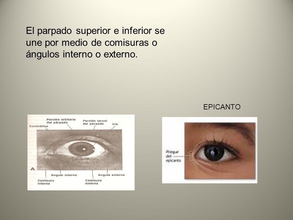 El parpado superior e inferior se une por medio de comisuras o ángulos interno o externo.