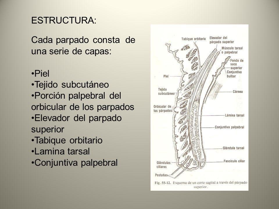 ESTRUCTURA: Cada parpado consta de una serie de capas: Piel. Tejido subcutáneo. Porción palpebral del orbicular de los parpados.