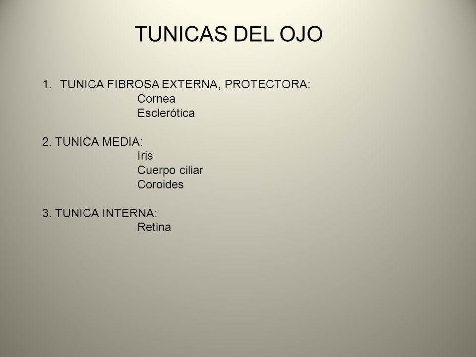 TUNICAS DEL OJO TUNICA FIBROSA EXTERNA, PROTECTORA: Cornea Esclerótica