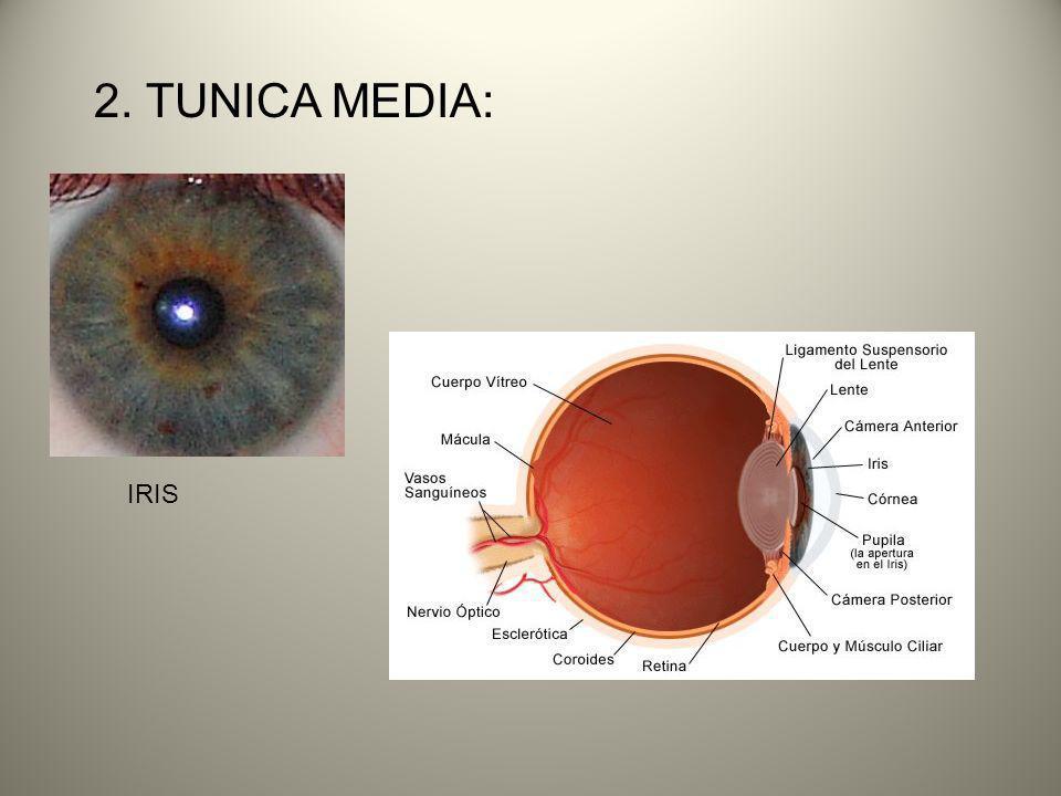 2. TUNICA MEDIA: IRIS